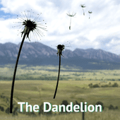 The Dandelion...